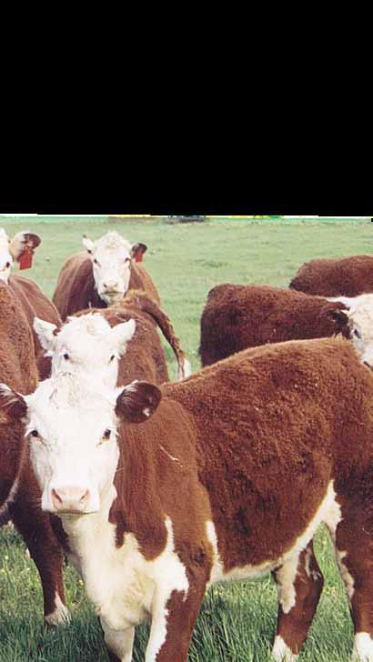 Genetic Evaluation The ILR2 implementation for beef cattle includes the BREEDPLAN genetic evaluation service.