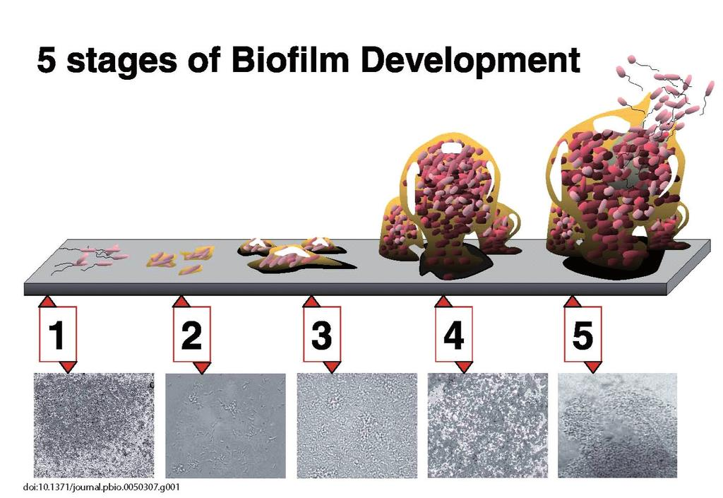 188 Biodegradation Handbook Figure 3. Five stages of biofilm formation (adopted from Monroe, D. doi:10.1371/journal.pbio.0050307 [22]) Figure 4.