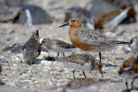 shore birds Expansion of authority to include impact/mitigation
