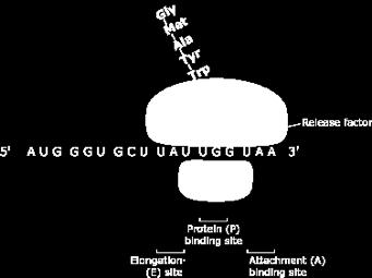 Translation - Termination Ribosome reaches one of THREE STOP CODONS - UGA, UAG, UAA Do not code for an amino acid, no corresponding trna s Protein