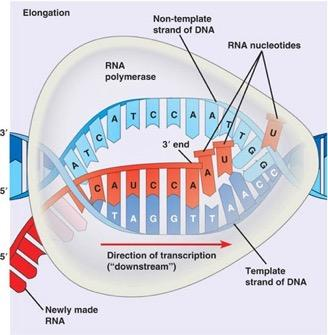 Transcription - Elongation DNA strand to be transcribed = template RNA polymerase moves along template strand of DNA and begins building