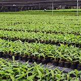 (The number of bananas and the growing period differ according to the variety, altitude and other factors.