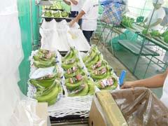 A large number of employees, irrespective of gender and age, enjoy working on banana production, recognizing it as the core local industry.