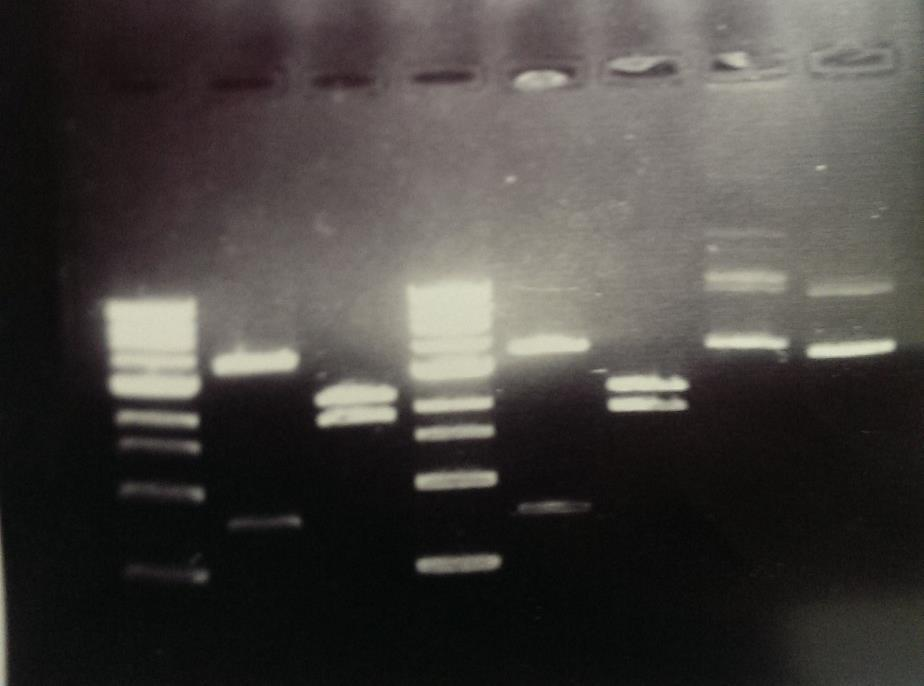 Another gel is then made, but at 0.8%, which is used to check our ligation product and success, this gel was shared amongst 7 people and the ligation did work, which is mentioned in the results.