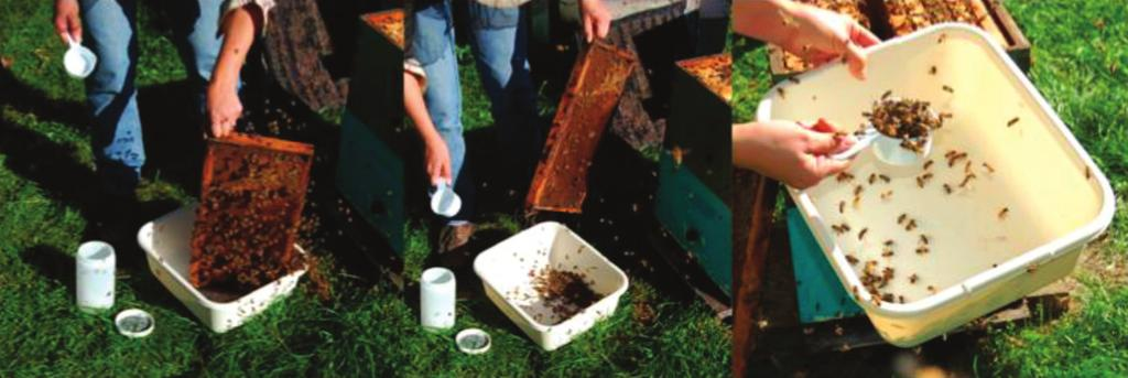 Figure 1. Rapping a frame in a plastic wash-dish container, then using a cup that holds 0.42 cups to measure 300 adult bees. sugar-coated bees to their colony where they will be groomed by nestmates.