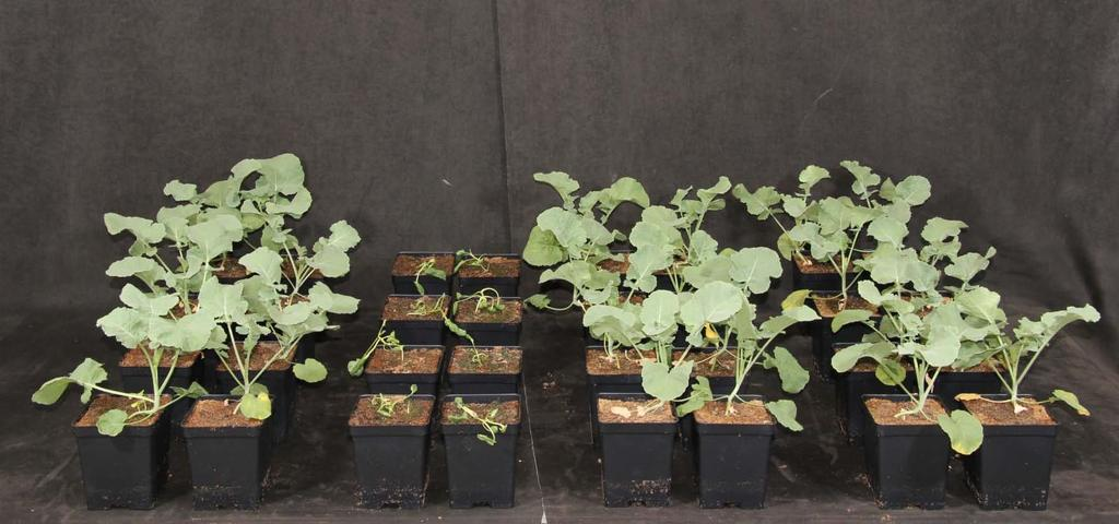 Dicamba Tolerance Would Provide Canola Growers Additional Weed Control Flexibility Greenhouse, St Louis November 2011 Non-transgenic Untreated Non-transgenic Treated Event 1 Treated Event 2 Treated