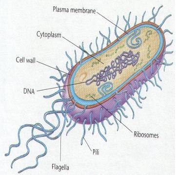 2. Place the letter in the box to label the bacterial parts. a. Cell membrane b. Cell wall c. Pili d. DNA e. Ribosomes f. Cytoplasm g. Flagella 3.