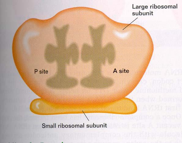 Ribosomes Ribosome are composed of rrna and proteins.