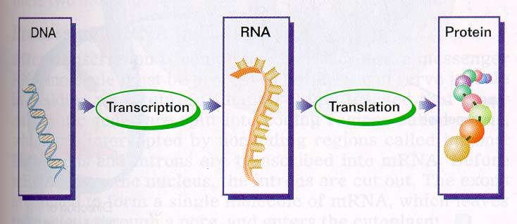 From Genes to Proteins Gene expression