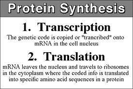 Transcription Translation Steps in protein synthesis: 1. In the nucleus, DNA transcribes RNA. 2.