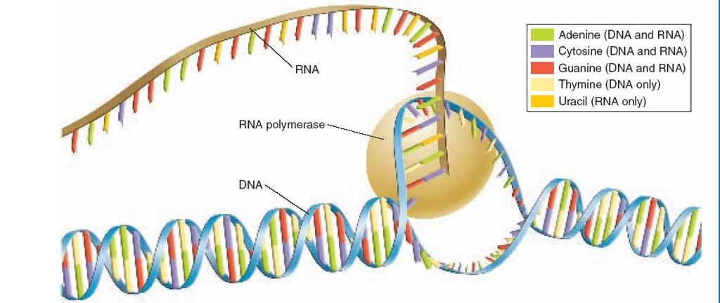 III) Transcription A) Transcription Is the process by which DNA is copied into RNA B) Promoters signals in DNA that indicate to the enzyme