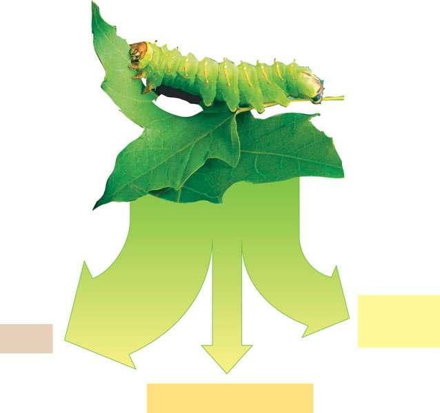 Trophic Efficiency and Ecological Pyramids It gets transferred to the organism that ate the caterpillar Trophic efficiency Plant material eaten by caterpillar