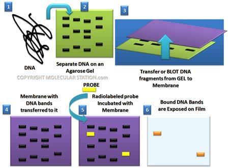 A technique called Southern blotting combines gel electrophoresis of DNA fragments with nucleic acid hybridization Specific