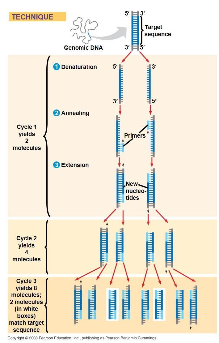 Amplifying DNA: The Polymerase Chain Reaction (PCR) The polymerase chain reaction, PCR, can produce many copies of a specific target segment of DNA A