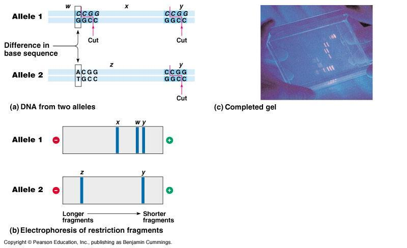 In restriction fragment analysis, DNA fragments produced by restriction enzyme digestion of a DNA molecule are sorted by gel electrophoresis Restriction fragment