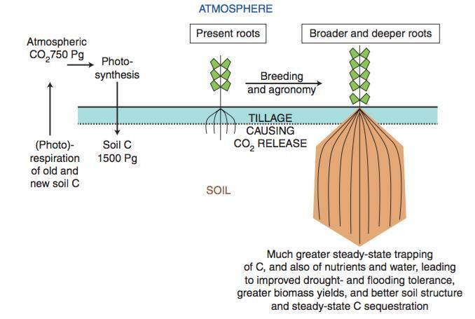 Breeding crop plants with deep roots: their role in sustainable carbon,