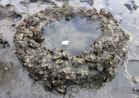 2009-2012 OYSTER RESTORATION RESEARCH PROJECT (ORRP) FINAL TECHNICAL REPORT ORRP Phase I: