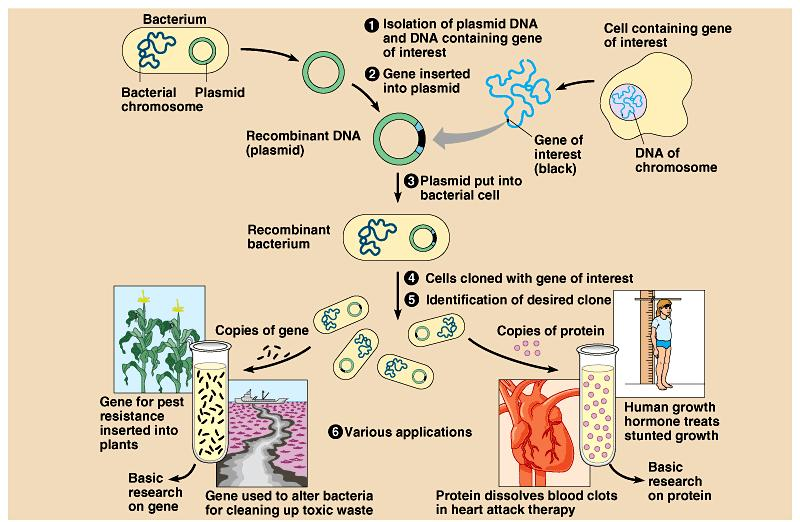 Applications of biotechnology Plasmids also contain a genetic marker- a gene that makes it possible to distinguish bacteria that carry the plasmid from those that don t These markers
