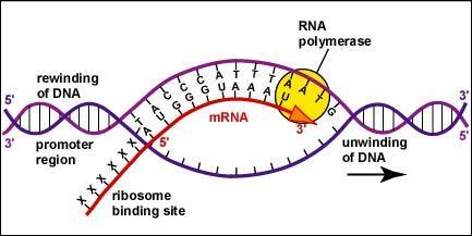 RNA nucleotides are added only to the 3