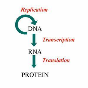 How does mrna
