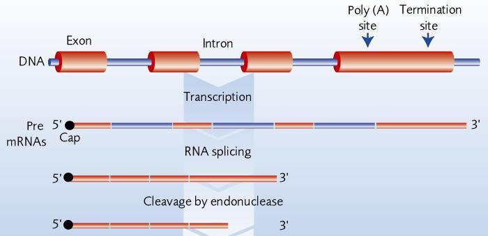 Both introns and exons are transcribed to form an oversized mrna molecule; Enzymes