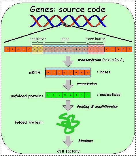 Protein Synthesis / Gene Expression