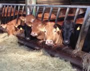 Weaning to breeding For spring-calving herds the time between weaning and breeding is during winter.