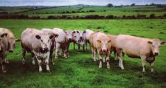 At grass If well managed, good quality grass can sustain growth rates of more than 1kg per day in weaned cattle, particularly during spring.