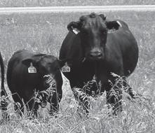 Feeding the Beef Herd The essential nutrients Factors affecting nutritional requirements of beef cattle Forage is basis for