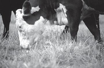 Tennessee conditions Forage Production Basics of forage production Factors affecting quality The value of controlled grazing