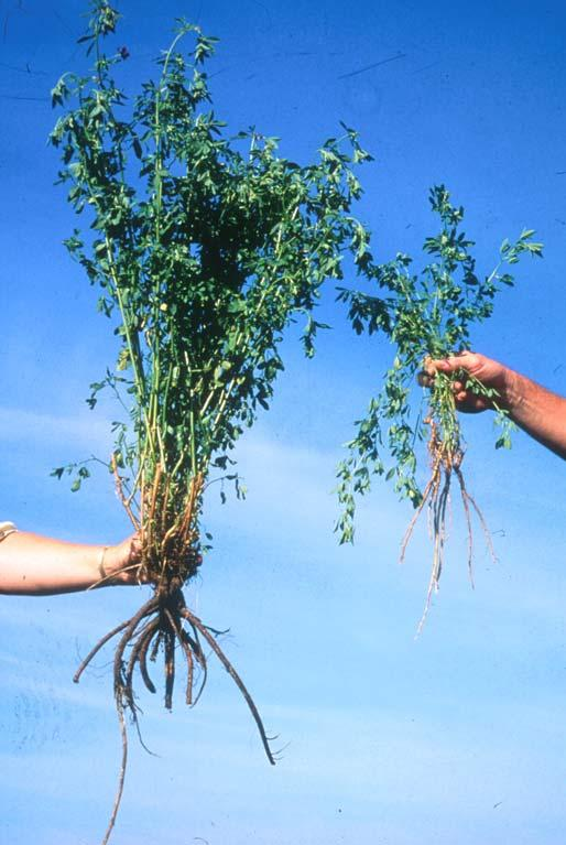 Biomass-Type Alfalfa Developed by USDA-ARS Traits Incorporated: Large, lodging resistant