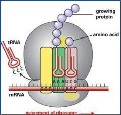 When the 1 st and 2 nd amino acid is in place, the rrna joins them by forming a.