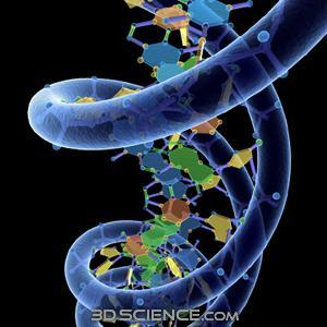 Replication Steps 1) Unwinding: DNA helicase (an ) enzyme unwinds and unzips the double helix and begins to break the H bonds between the nitrogen bases. 27 E.