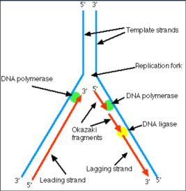 base pairing rules. The newly assembled strand is called a leading strand of nucleotides and reforms the double helix. Each new strand is a complement of parent strand. 28 E.