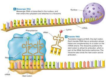in DNA (code sequence) 51 DNA transfers this information to mrna, which carries the