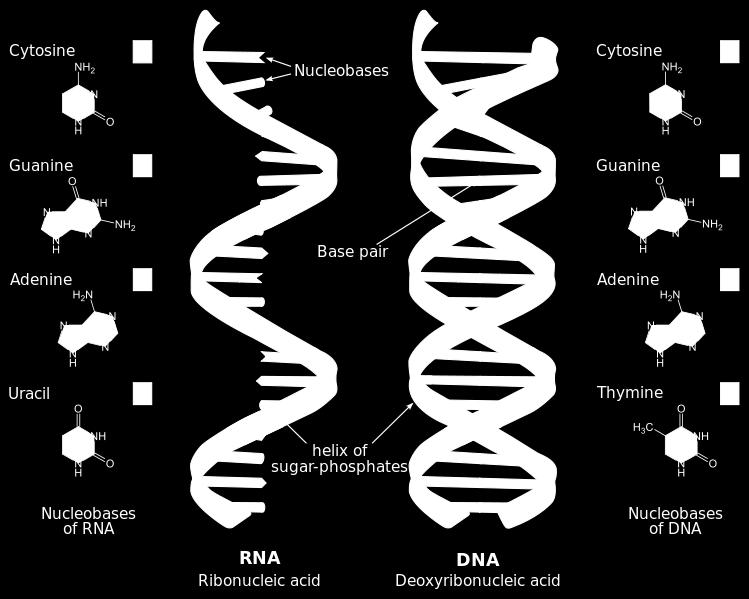 The difference between DNA and RNA is that the structure of DNA is double helix and composed of deoxyribonucleic acid, whereas RNA is single strand and composed of ribonucleic acid.