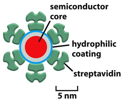 Figure 9-16a Molecular Biology of the Cell ( Garland Science 2008) Quantum dots: quantum dots are typically composed of semiconductor cores such as cadmium selenide,