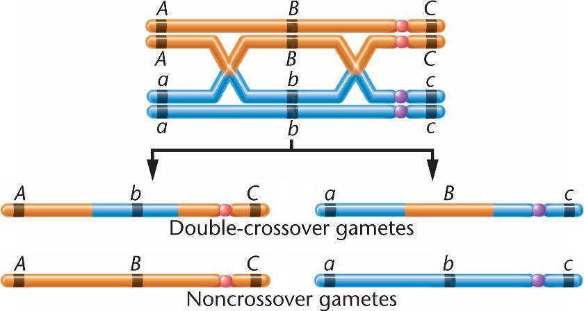 Mendelian Genetics Recombination Rates Recombination (usually) occurs only between homologous chromosomes.