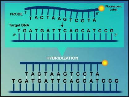 Nucleic Acid Structure Base pairing allows complementary strands to hybridize Hybridization occurs spontaneously between complementary ssdna under physiological conditions.