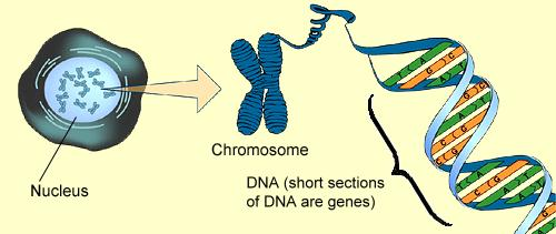Just because you inherit the gene does not mean it is expressed ( heredity + environment). Gene: Section of DNA that required for the production of a protein. Unit of inheritance. Coding DNA.