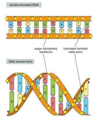 DNA & RNA DNA: Deoxyribonucleic acid. RNA: Ribonucleic acid. DNA was discovered by Watson and Crick. It is arranged in a double helix shape. Nitrogenous Bases: Adenine, Thymine, Guanine, Cytosine.