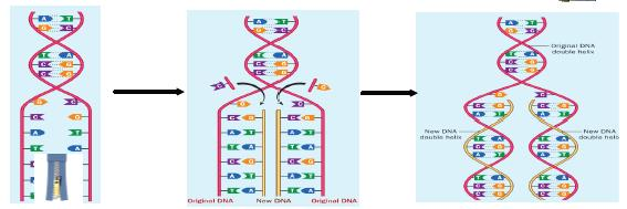 Replication of DNA: Single-stranded chromosomes become double-stranded.