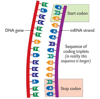 Protein Synthesis Genes are responsible for the formation of protein. The protein could be new body cells or enzymes.