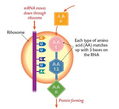 Synthesis occurs in the ribosomes in the nucleus of a cell.