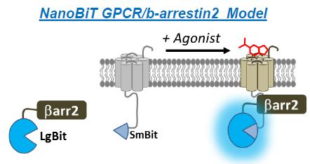 (GFP) results in crosslinking of the