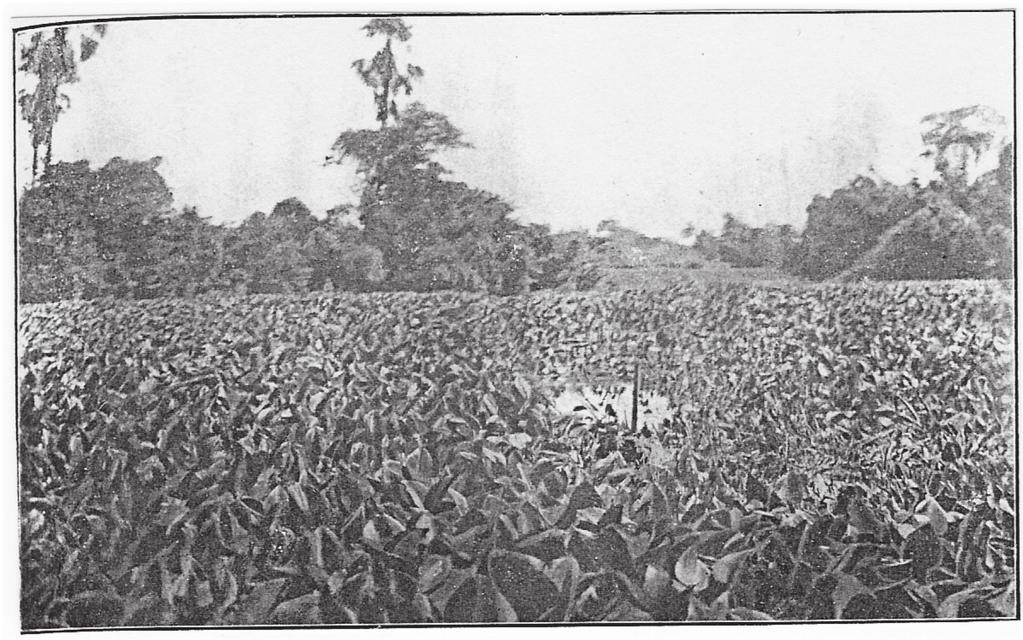 FIGHTING WITH A WEED 203 FIGURE 4. Canal choked with water hyacinth. Source: Kenneth McLean, Water Hyacinth. A Serious Problem in Bengal, Agricultural Journal of India XVII (1922).