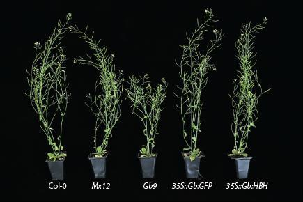 Figure 8 Overexpression of tagged Gb proteins results in rescue of stunted growth.