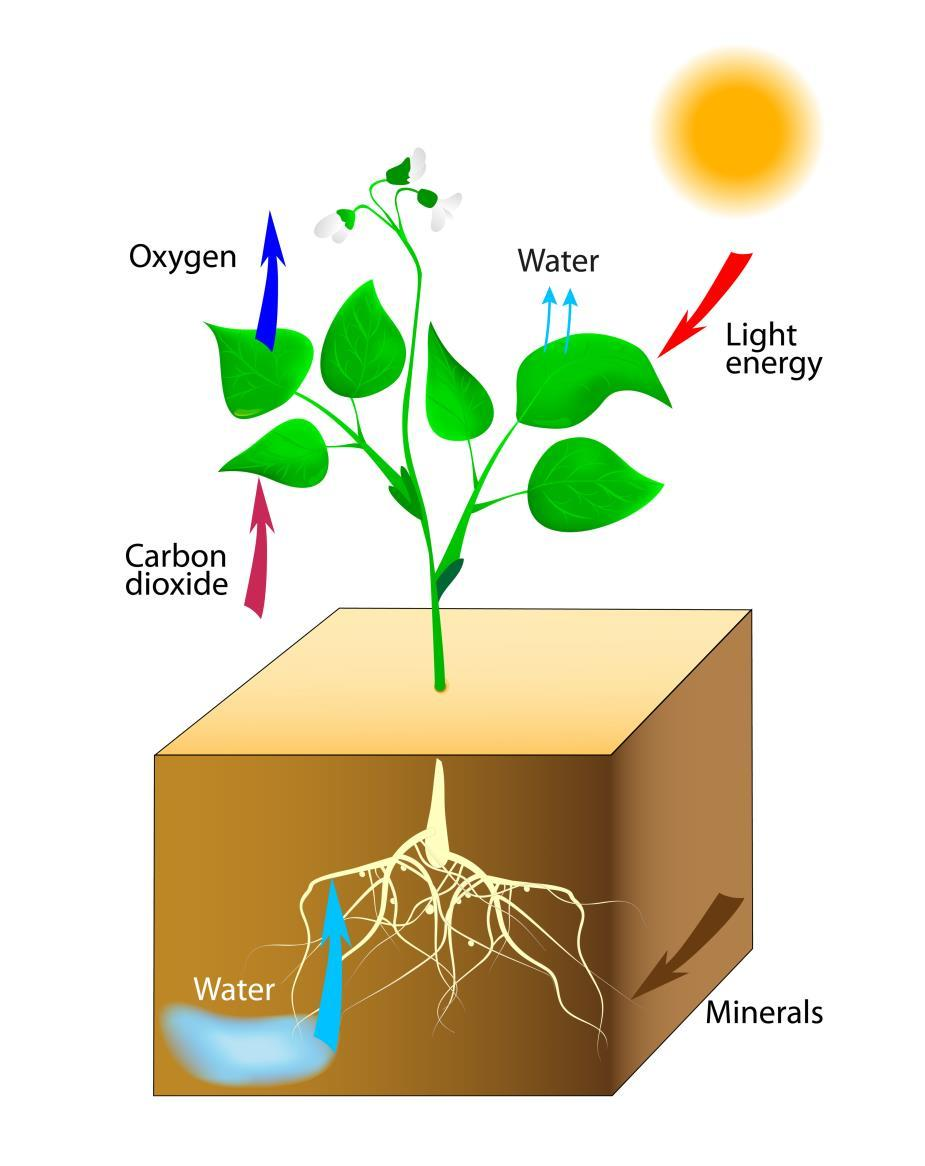 designua/fotolia 9-1 The Carbon Cycle Biomass is organic material that uses energy from the sun to convert carbon dioxide and water into