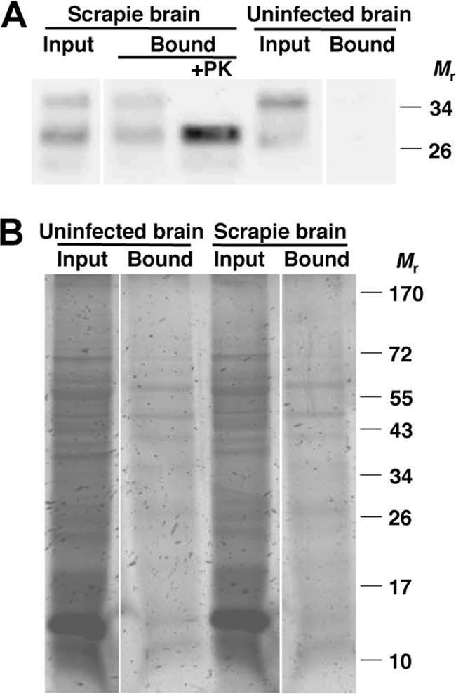 Input and bound PrP Sc molecules were detected by proteinase K digestion and anti-prp (6D11) immunoblot. PrP Sc. Magnetic particles did not capture the normal prion protein conformer PrP C from uninfected mouse brain tissue (Fig.