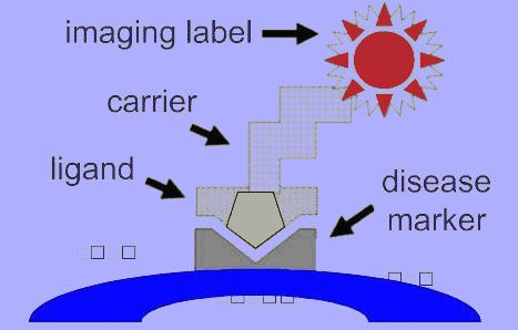 Figure 2-14: Above figure shows the principle of targeted contrast imaging. The imaging agent is coupled with the ligand using a carrier. The ligand is targeted to the receptor on the cell surface.